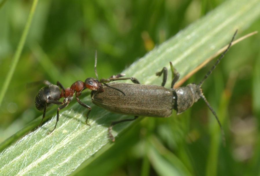 Dascillus cervinus (Dascillidae) attaccato  da Formica gr. rufa