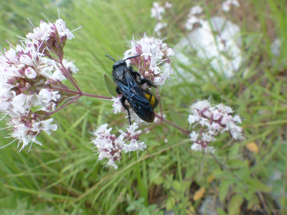 Scoliidae: Scolia hirta, femmina