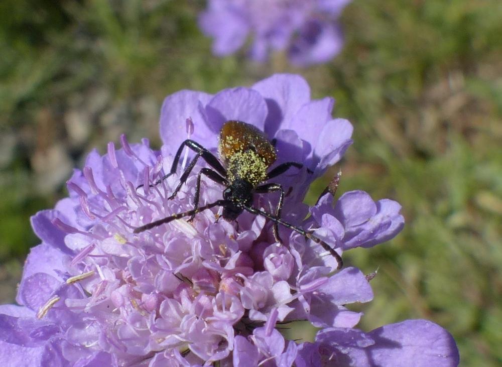 Cerambycidae: Paracorymbia cfr. hybrida