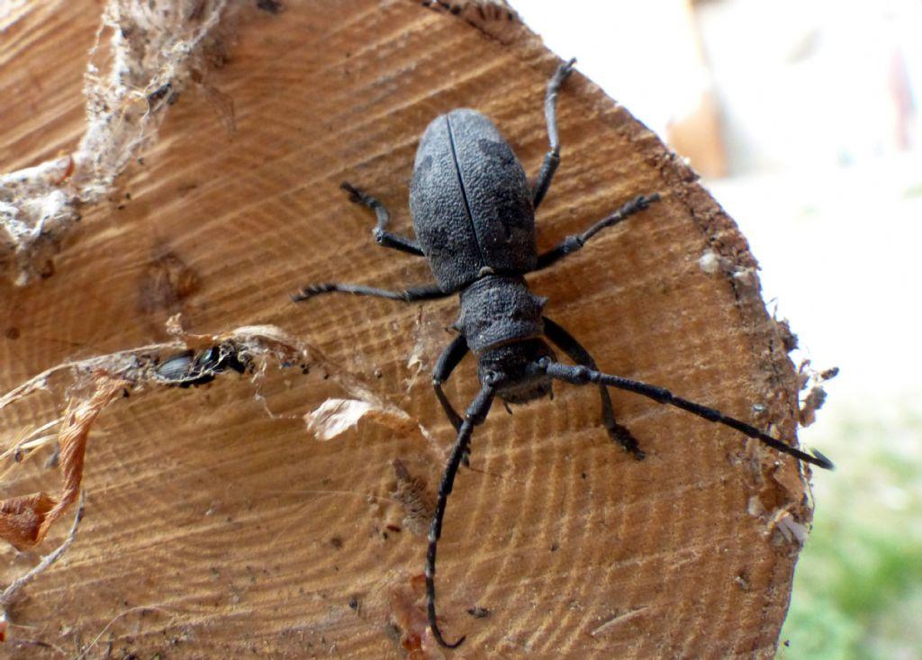 Cerambycidae: Morimus asper, femmina
