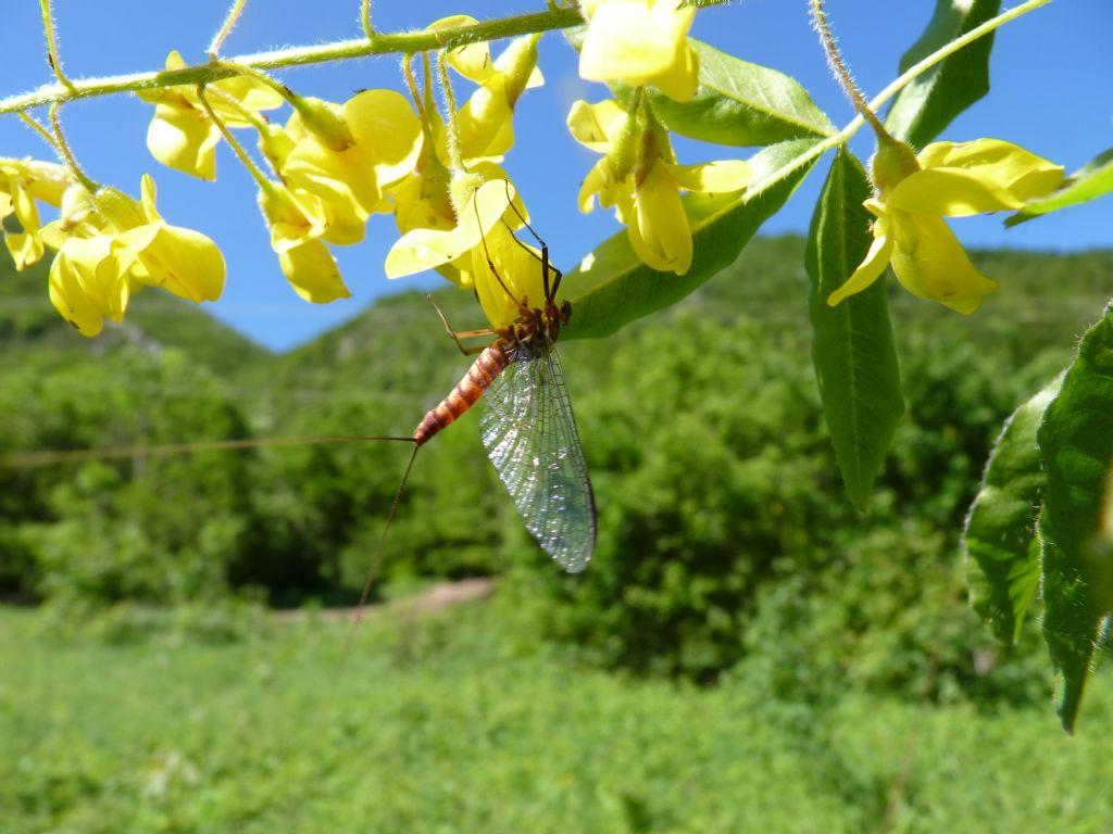 Heptageniidae: Rhithrogena sp., femmina