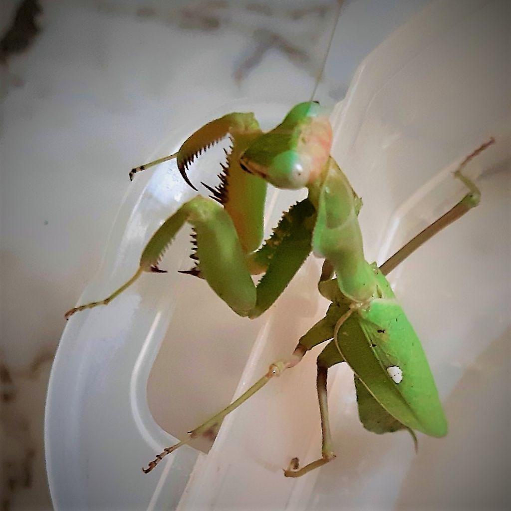 a determinare: Sphodromantis viridis, femmina