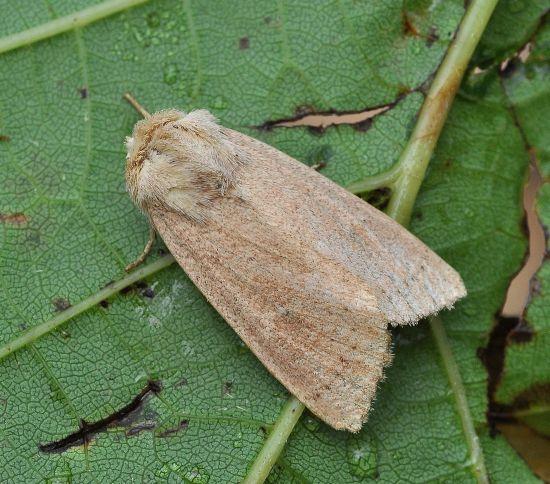 Mythimna sicula? Sì, Mythimna sicula f. scirpi - Noctuidae