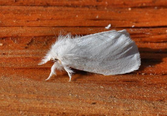 Erebidae Limantriinae: Euproctis chrysorhoea o similis?