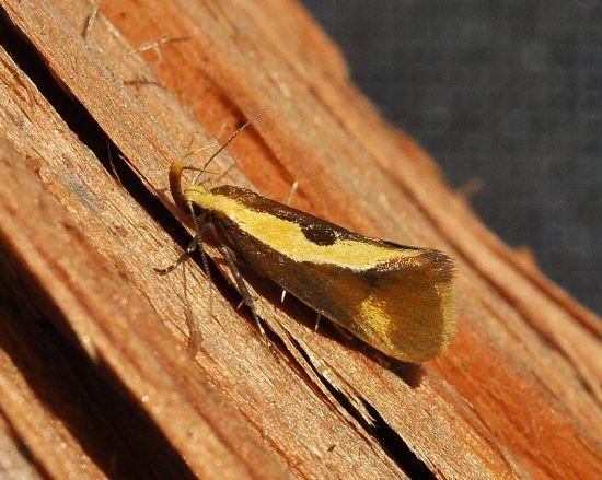Harpella forficella, Oecophoridae