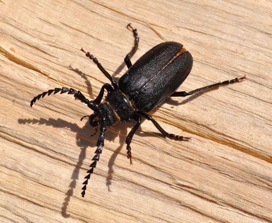Cerambycidae: Prionus coriarius ?  Sì, maschio