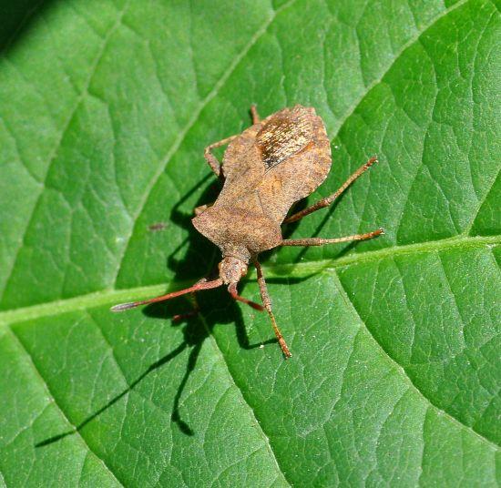 Coreidae: Coreus marginatus