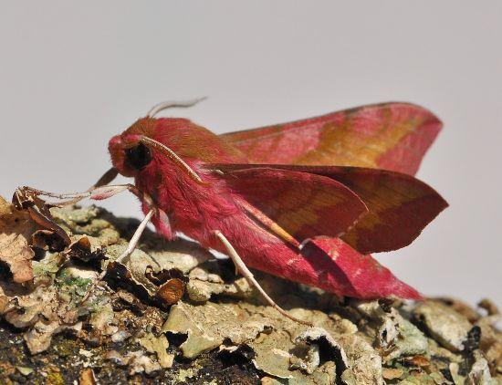 Deilephila porcellus - Sphingidae