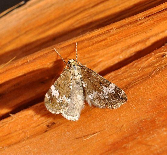 Perizoma alchemillata , geometridae?