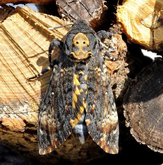 Acherontia atropos sphingidae