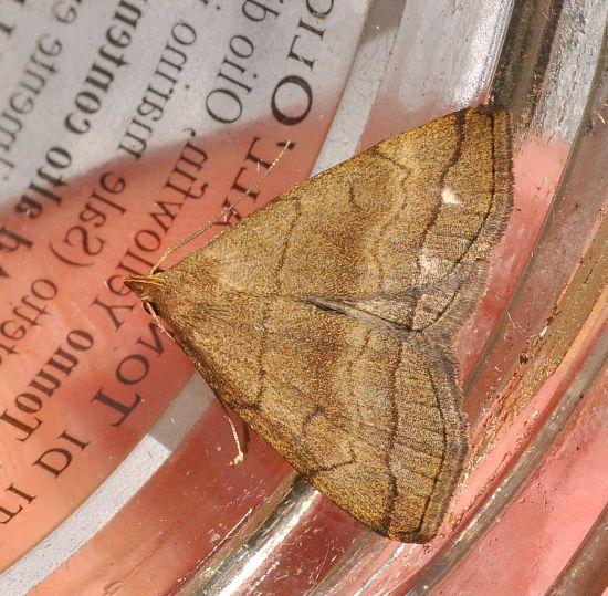 Herminia tarsipennalis?? Herminia tarsicrinalis - Erebidae