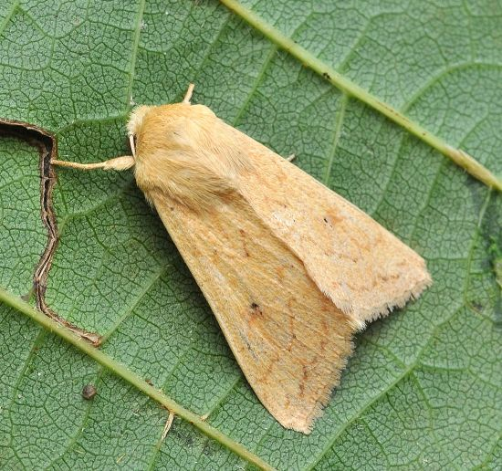 Mythimna vitellina Noctuidae