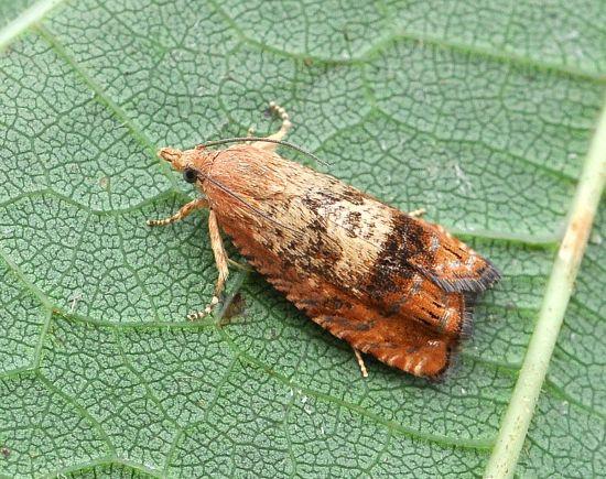aiuto id.: Cydia amplana - Tortricidae