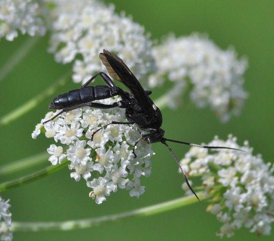 Ichneumonidae da id.