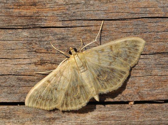 Ostrinia nubilalis femmina? No, Pleuroptya ruralis - Crambidae