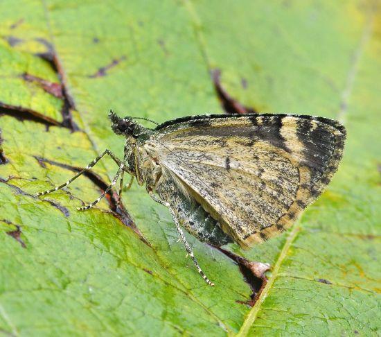 Chloroclysta siterata - Geometridae