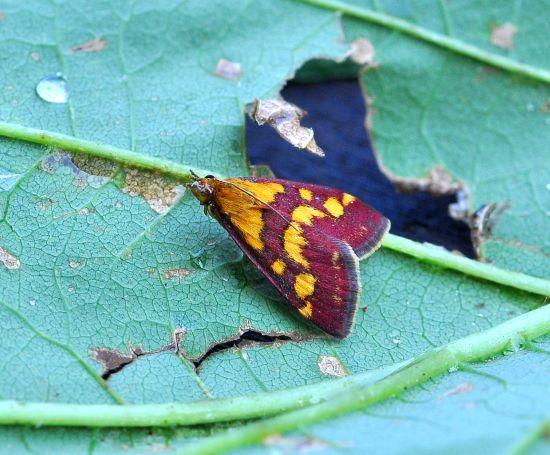 Crambidae: Pyrausta purpuralis ?  Sì !