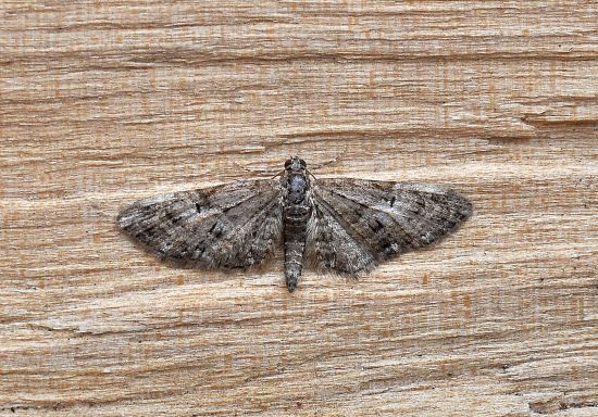 Euphitecia abbreviata, geometridae?