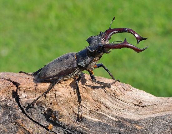 Cervo volante / Lucanus cervus, maschio