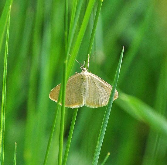 Sitochroa palealis, Crambidae ? No, Geometridae: Minoa murinata