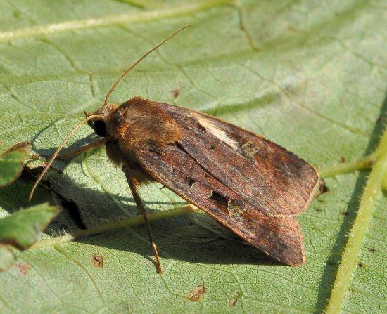 Xestia c-nigrum? No, Diarsia brunnea - Noctuidae