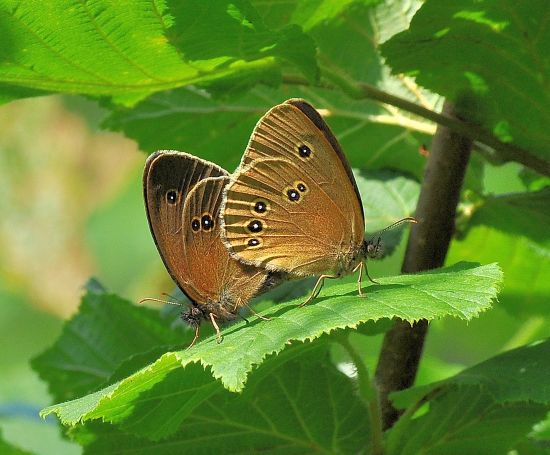 Apantopus hyperantus