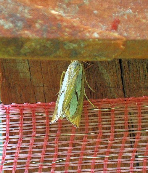 Crambidae:  Catoptria pinella?... Catoptria cfr. pinella