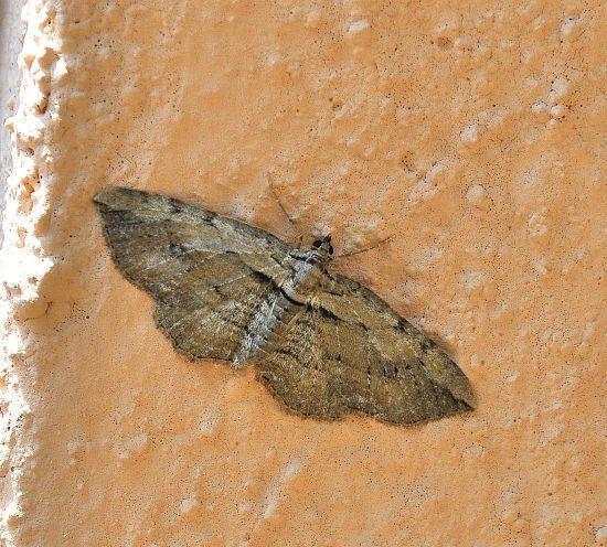 Menophra? No, Horisme sp. - Geometridae