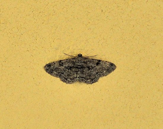 Peribatodes rhomboidaria - Geometridae ?  Sì !