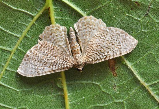 Hydria undulata - Geometridae