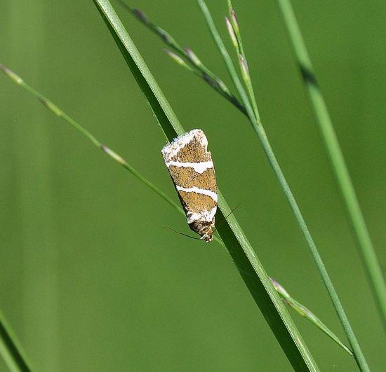Deltoe bankiana - Noctuidae