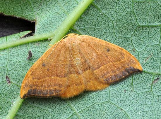 Watsonalla binaria, Drepanidae