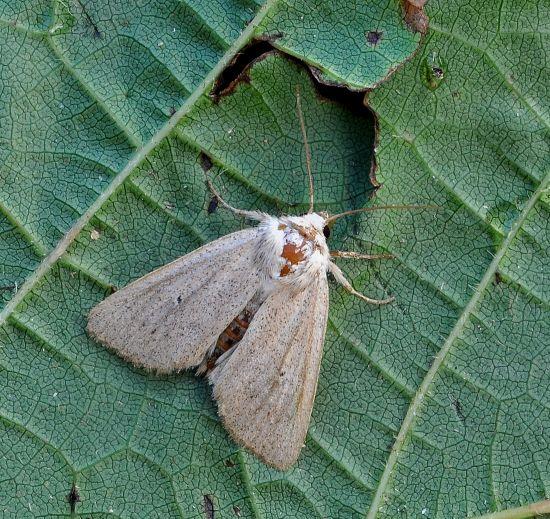 Mythimna alopecuri? No, Mythimna sicula f. scirpi - Noctuidae
