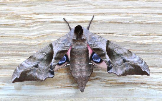 Sphyngidae: larva di Laothoe populi ?  No, di Smerinthus ocellata