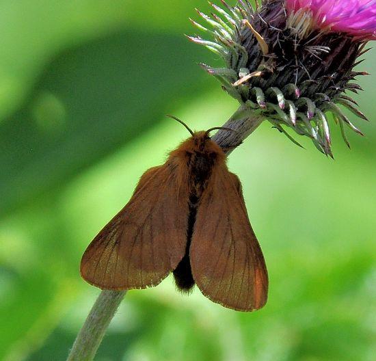 Malacosoma alpicolum, Lasiocampidae ?  Sì, femmina
