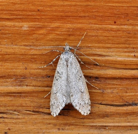 Diurnea fagella - Chimabachidae e cfr. Scoparia sp. - Crambidae