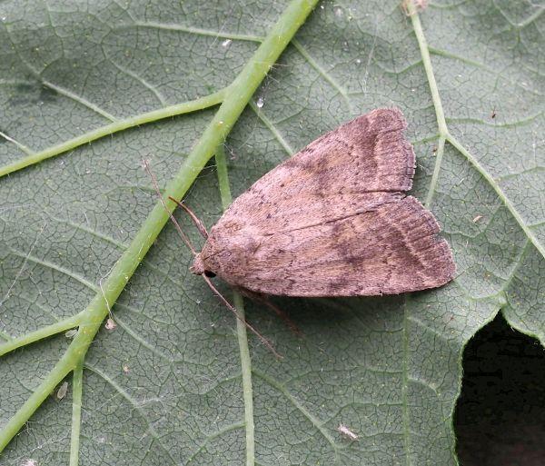 Paradrina fuscicornis ?