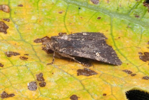 Trigonophora haasi ?  No, Mesapamea secalis