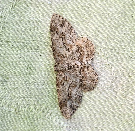 Hypomecis punctinalis? No, Ectropis crepuscularia - Geometridae