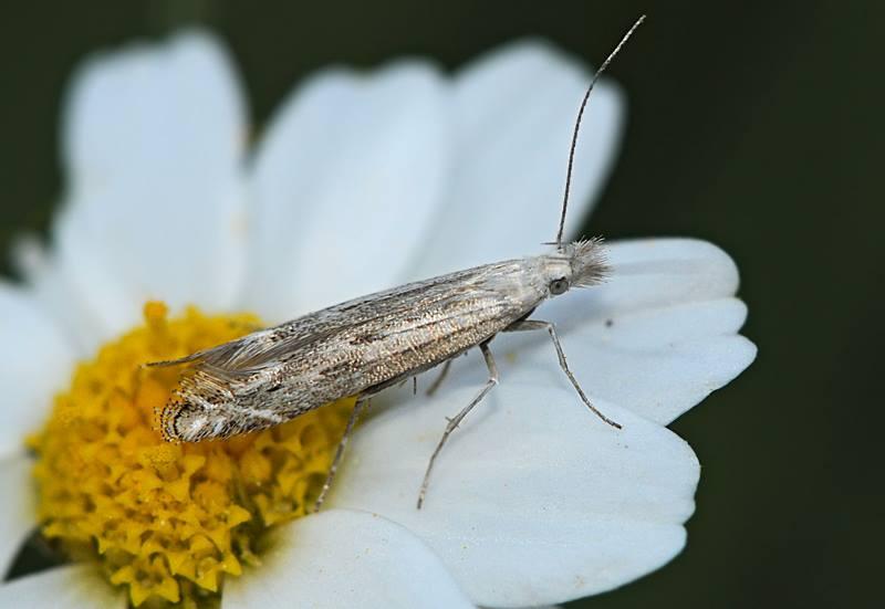 Micro da id .  Gelechiidae - Isophrictis anthemidella (Cfr)