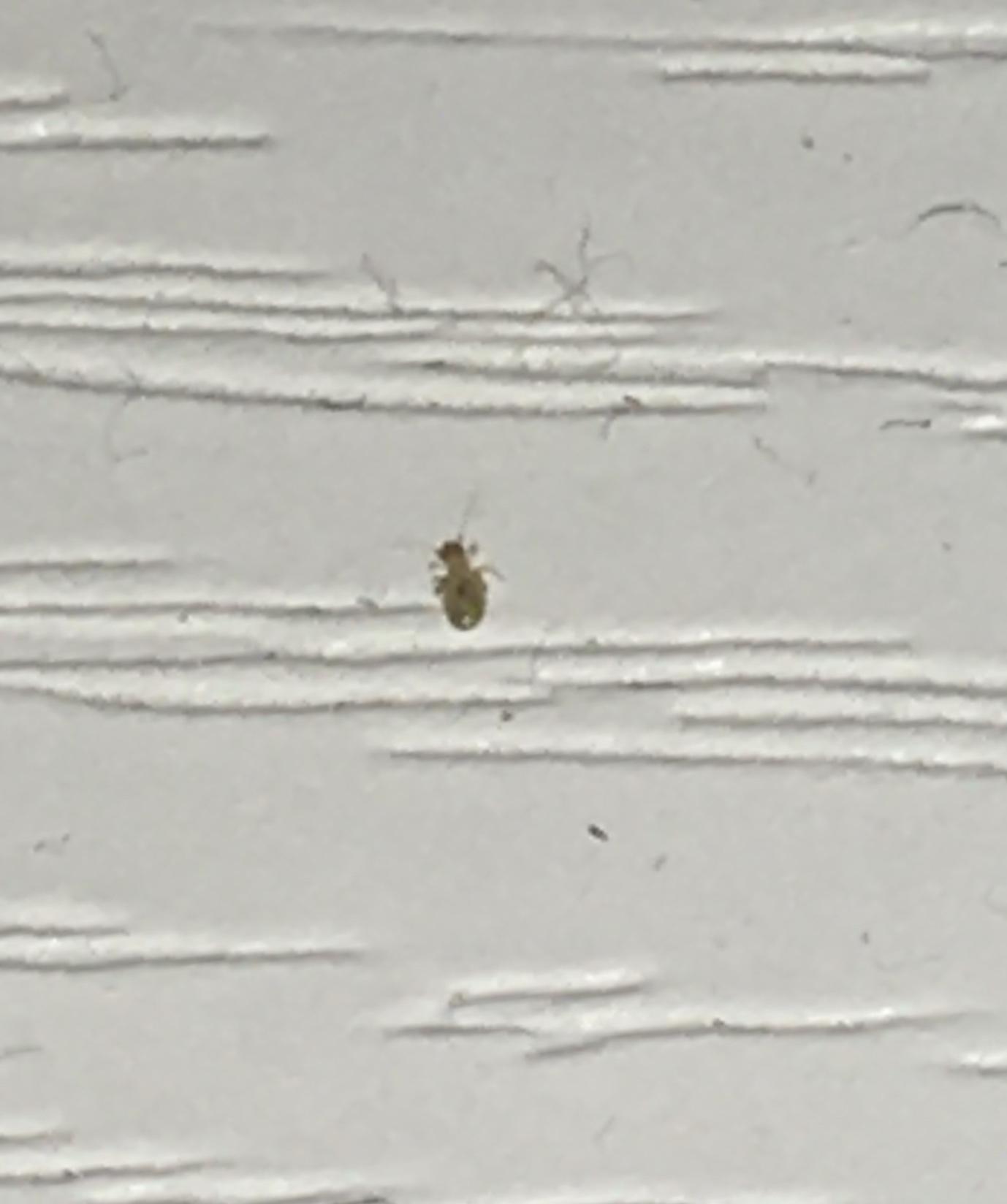Che insetto è? Psocoptera da det.