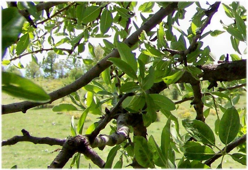 Riconoscimento albero:  Malus sylvestris (cfr.)