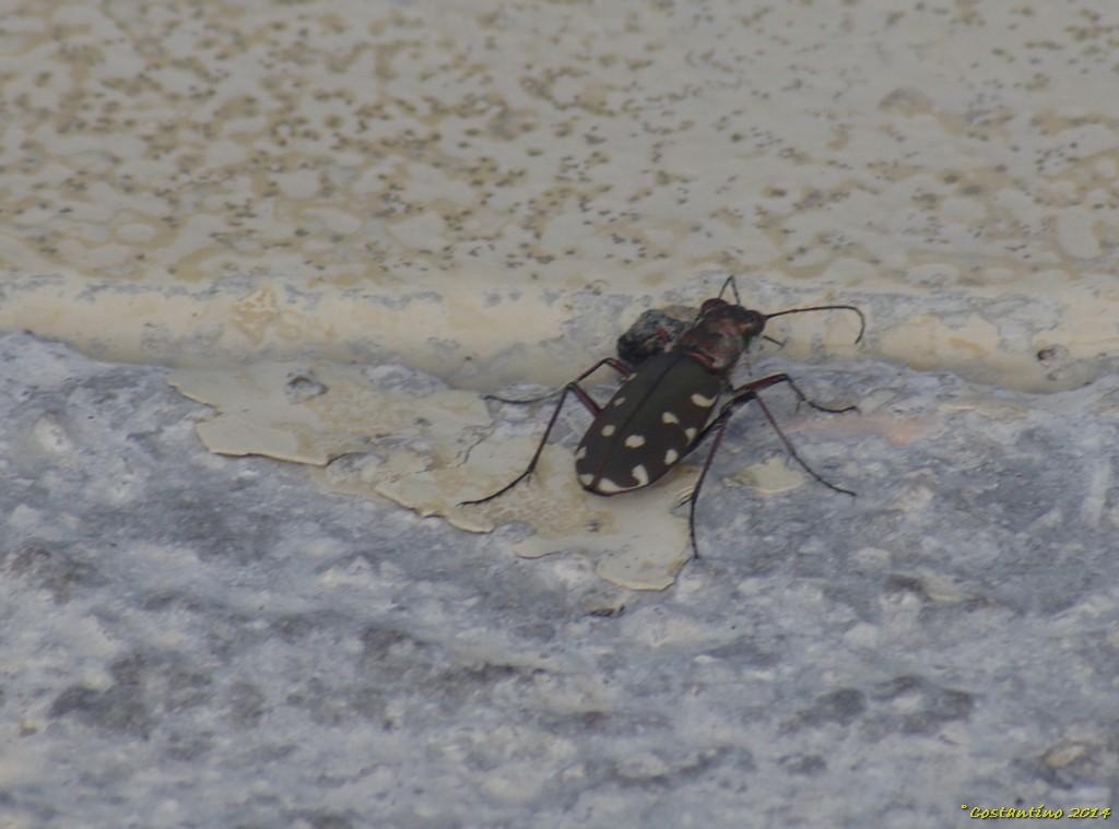 Calomera littoralis ssp. nemoralis, Carabidae, Cicindelinae