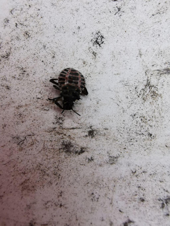 che insetto è