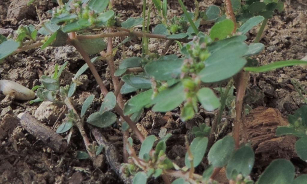 Piantina infestante: Euphorbia sp...