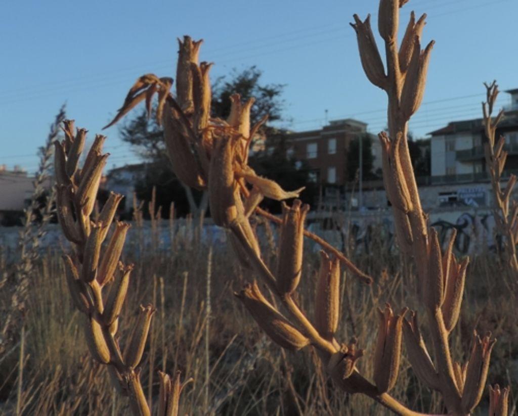 Secchi e alti:...Oenothera sp.