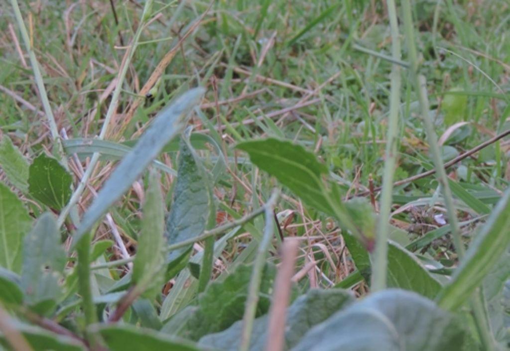 Quattro petali: Diplotaxis tenuifolia (Brassicaceae)