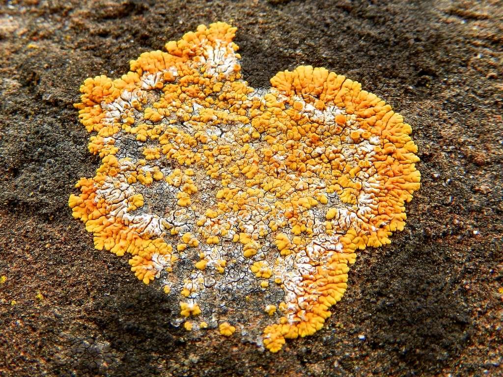 Licheni da id.:  Caloplaca flavescens