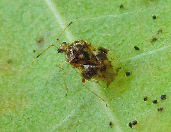 Miridae: Stethoconus pyri from Turkey