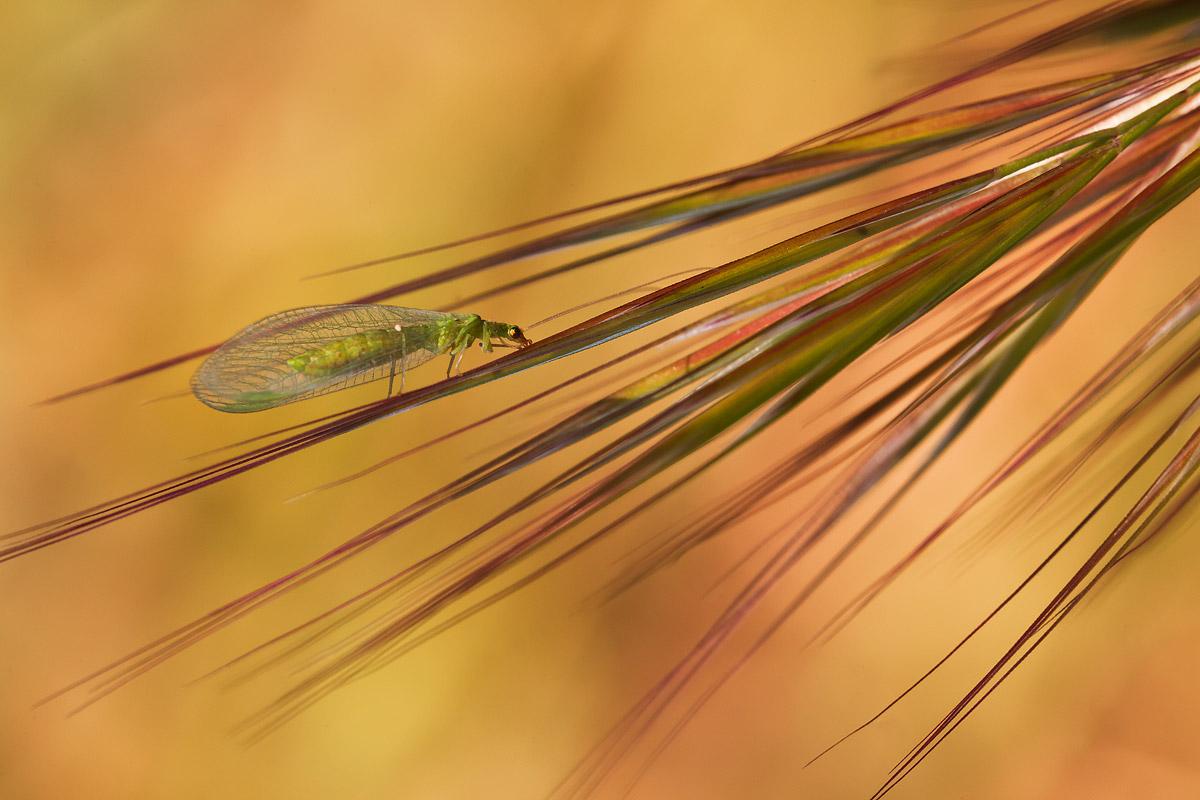 Chrysopidae da determinare